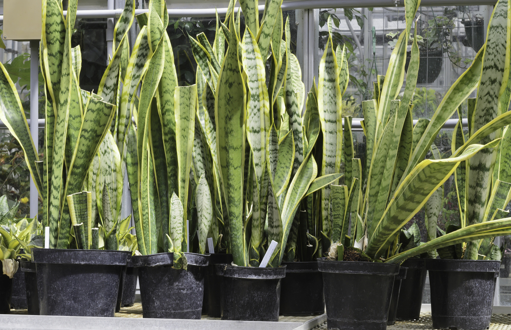 Potted snake plants (botanical name Sansevieria trifasciata), also known as mother-in-laws tongue (poisonous if ingested), an ornamental native to tropical western Africa, on table in greenhouse